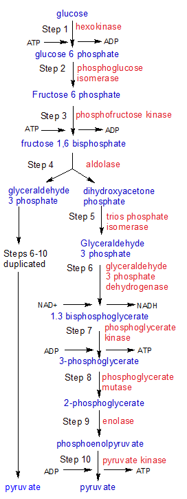 cellular respiration flow chart pdf
